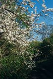 Körsbärsröd filial med vita blommor som blommar i tidig vår i trädgården körsbärsröd filial med blommor, tidig vår lantlig väg Royaltyfri Fotografi