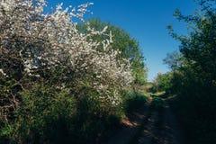 Körsbärsröd filial med vita blommor som blommar i tidig vår i trädgården körsbärsröd filial med blommor, tidig vår lantlig väg Royaltyfri Bild