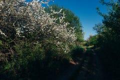 Körsbärsröd filial med vita blommor som blommar i tidig vår i trädgården körsbärsröd filial med blommor, tidig vår lantlig väg Arkivfoton