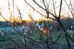 Körsbärsröd filial med vita blommor som blommar i tidig vår i trädgården körsbärsröd filial med blommor, tidig vår på solnedgånge Arkivfoto