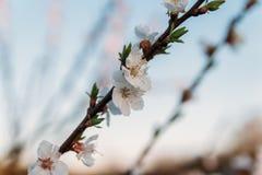Körsbärsröd filial med vita blommor som blommar i tidig vår i trädgården körsbärsröd filial med blommor, tidig vår på solnedgånge Arkivfoton