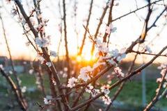 Körsbärsröd filial med vita blommor som blommar i tidig vår i trädgården körsbärsröd filial med blommor, tidig vår på solnedgånge Arkivbild