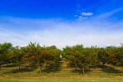 Körsbärsröd fruktträdgård Arkivfoto