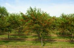 Körsbärsröd fruktträdgård Arkivbilder
