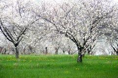 Körsbärsröd fruktträdgård för blomning i Michigan Arkivbild