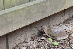 Körsbärsröd hövdad röd footed sköldpadda Arkivfoto