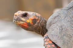 Körsbärsröd head röd fotsköldpadda Fotografering för Bildbyråer