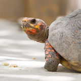 Körsbärsröd head röd fotsköldpadda Arkivbild