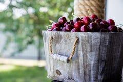 Körsbärsröd korg Cherry Tree Branch nytt moget för Cherry söt ch Arkivbilder