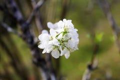 Körsbärsröd plommon Royaltyfri Fotografi