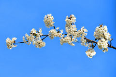Körsbärsröd plommon Arkivbilder