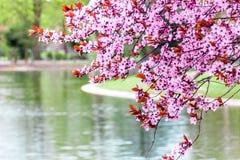 Körsbärsröd plommon (Atropurpurea) Fotografering för Bildbyråer