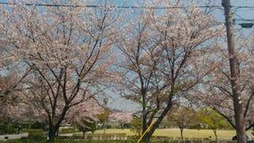 Körsbärsröd/Sakura träd av vägsidan royaltyfri fotografi