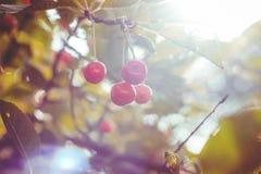 Körsbärsröd skönhet 1 Royaltyfri Fotografi