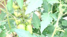 Körsbärsröd tomat, Don Duong område, Lam Dong landskap, Vietnam lager videofilmer