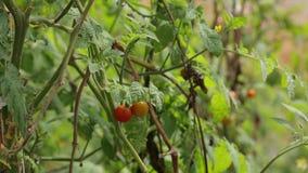 Körsbärsröd tomat, Don Duong område, Lam Dong landskap, Vietnam arkivfilmer