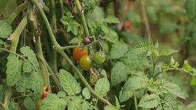 Körsbärsröd tomat, Don Duong område, Lam Dong landskap, Vietnam stock video