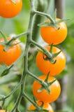 Körsbärsröd tomat på vine Royaltyfri Bild