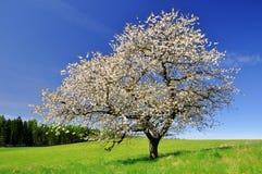 Körsbärsröd tree Arkivfoto