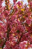 Körsbärsröd Tree Royaltyfria Bilder