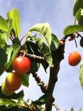 Körsbärsröd Tree Royaltyfri Foto