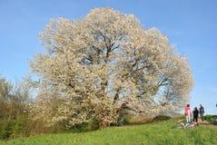 Körsbärsröd Tree Royaltyfri Fotografi