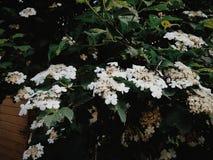 Körsbärsröd Tree Royaltyfri Bild