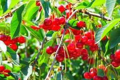 Körsbärsröd Tree Royaltyfria Foton