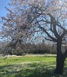 Körsbärsröd Tree arkivbild