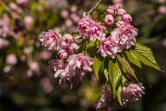 Körsbärsröd Tree Sakura arkivfoton