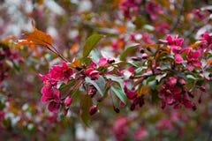 Körsbärsröd Treeblomning Fotografering för Bildbyråer