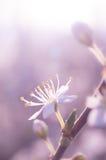 Körsbärsröd vårblomma Arkivfoto