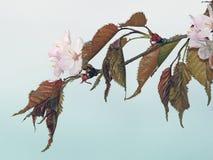 Körsbärsröd vårfilial Royaltyfri Bild