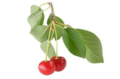 Körsbärsröda bär på en filial med gröna sidor på vit bakgrund Arkivbilder