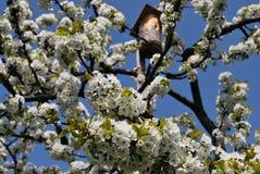 Körsbärsröda blom Royaltyfri Foto
