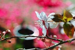 Körsbärsröda blom Arkivfoto