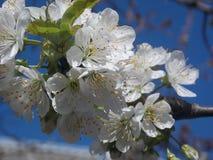 Körsbärsröda blom Royaltyfria Bilder