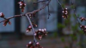 Körsbärsröda blommaknoppar på träd arkivfilmer