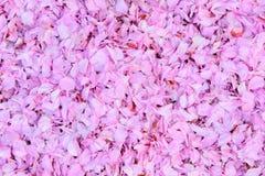 Körsbärsröda blommasidor över hela (närbilden) Arkivfoto
