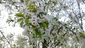 Körsbärsröda blommor stock video
