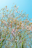 Körsbärsröda blommor Royaltyfria Foton