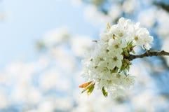 Körsbärsröda blommor Royaltyfri Bild