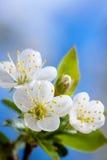 Körsbärsröda blommor Royaltyfria Bilder