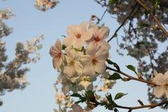 Körsbärsröda blommor Arkivfoto