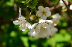 Körsbärsröda blommor Arkivfoton