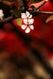 Körsbärsröda blomningar öppnade i Marchï ¼ Œ Kina Arkivfoton