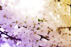 Körsbärsröda blomningar över suddig naturbakgrund Royaltyfri Foto
