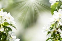 Körsbärsröda blomningar över suddig naturbakgrund Våren blommar w Arkivbild