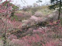 Körsbärsröda blomningar Royaltyfria Bilder