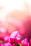 Körsbärsröda blomningar Arkivbilder